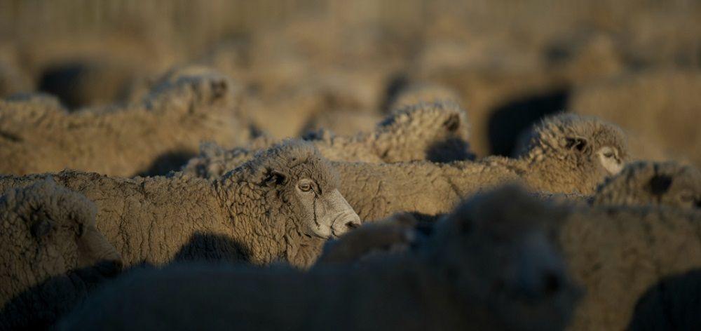 Aclima Sheep